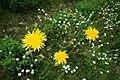 Crepis tectorum inflorescence (08).jpg