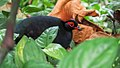 Crested Partridge (19434227468).jpg