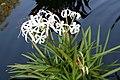 Crinum americanum 3zz.jpg