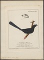 Crotophaga ani - 1700-1880 - Print - Iconographia Zoologica - Special Collections University of Amsterdam - UBA01 IZ18800139.tif