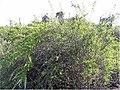 Cryptocarpus pyriformis 2zz.jpg