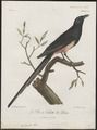 Cryptorhina rufigaster - vervalsing - 1796-1808 - Print - Iconographia Zoologica - Special Collections University of Amsterdam - UBA01 IZ15700067.tif