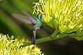 Cuban Emerald (Chlorostilbon ricordii) (8592689542).jpg