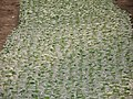 Cucumber Sprout, Varamin province, Saidabad جوانه خیارگلخانه پس ازده روز، گلخونه خیار، سعدآباد ورامین - panoramio.jpg