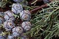 Cupressus glabra cones Pine AZ 2.jpg