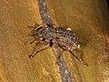 Curculionidae sp. (37126377554).jpg