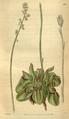 Curtis's Botanical Magazine, Plate 3118 (Volume 58, 1831).png