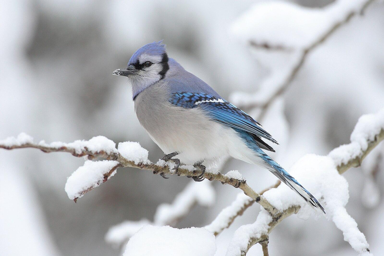 природа животные птицы зима снег загрузить