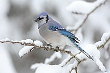 A blue and white bird sits on a branch in the snow