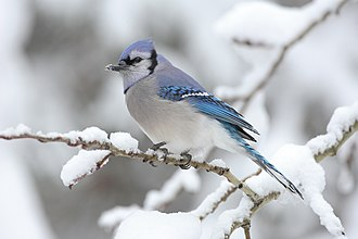Blue jay - In Algonquin Provincial Park, Canada