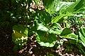 Cyclamen hederifolium 01.jpg