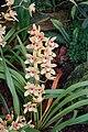 Cymbidium cultivars (2943646937).jpg