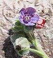 Cynoglossum officinale flower close up 2 AB.jpg