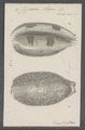 Cypraea argus - - Print - Iconographia Zoologica - Special Collections University of Amsterdam - UBAINV0274 088 02 0015.tif