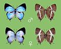 Dacalana kurosawai, male and female.jpg