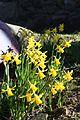 Daffodils (3390522306).jpg