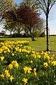 Daffodils on Green Lane, Cottingham - panoramio.jpg