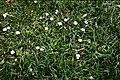 Daisies - Flickr - Matthew Paul Argall.jpg