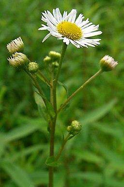 Daisy Fleabane (1292154577)