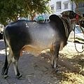 Dajal cattle.jpg