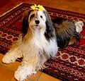Dali, the Tibetan Terrier, wears a sunflower.jpg