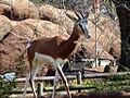 Dama Gazelle.jpg