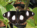 Denaid Eggfly (Hypolimnas misippus) in Hyderabad, AP W IMG 0592.jpg