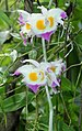 Dendrobium devonianum Devons Dendrobium.JPG