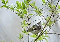 Dendroica pensylvanica f Tommy Thompson2.jpg