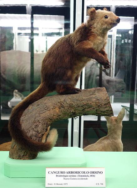 Das Bären-Baumkänguru 438px-Dendrolagus_ursinus_-_Museo_Civico_di_Storia_Naturale_Giacomo_Doria_-_Genoa%2C_Italy_-_DSC02961