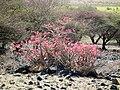 Desert rose Adenium obesum in Tanzania 2259 Nevit.jpg