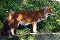 Dhole Asiatic wild dog (Cuon alpinus) (5798357684).jpg