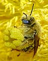 Diadasia Bee Straddles Cactus Flower Carpels close-up.jpg