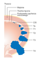 Diagram showing the T stages of bladder cancer CRUK 372 pl.png