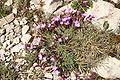 Dianthus-subacaulis-flowers.JPG