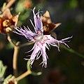 Dianthus broteri subsp. valentinus 04.JPG