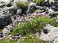 Dianthus monspessulanus 6.jpg