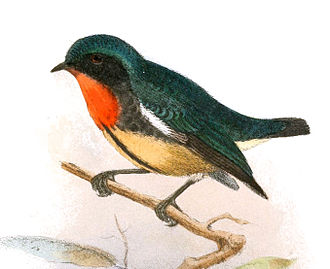 Fire-breasted flowerpecker - D. i. formosum