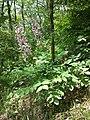 Dictamnus albus sl18.jpg