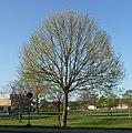 Dieser Baum ist bereits gefällt. - panoramio.jpg