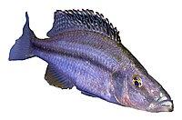 Dimidiochromis compressiceps.jpg