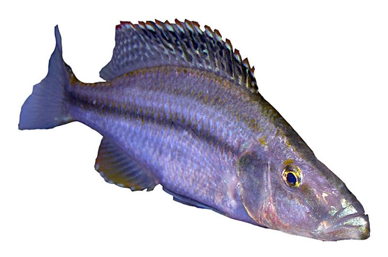 Bestand:Dimidiochromis compressiceps.jpg
