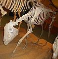 Dinohippus leidyanus 2.JPG