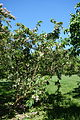 Dipelta floribunda - Arnold Arboretum - DSC06821.JPG