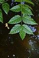 Dolichandrone spathacea 9370.jpg