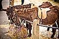 Donkeys (5761078127).jpg