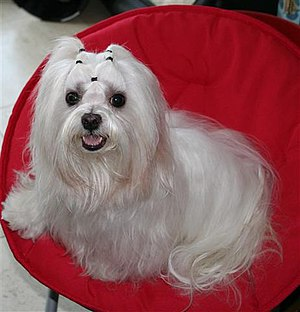 "Maltese dog - Maltese, nicknamed ""The Ancient Dog of Malta, ""The Maltese Lion Dog"" and  ""The Roman Ladies Dog"""