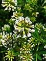 Dorycnium pentaphyllum herbaceum 002.JPG