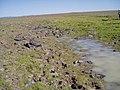 Downingia bacigalupii habitat in SW Idaho 3.jpg