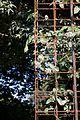 Dregea sinensis - Floraison-2.jpg